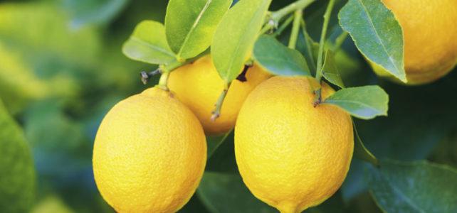 Tailler les citronniers