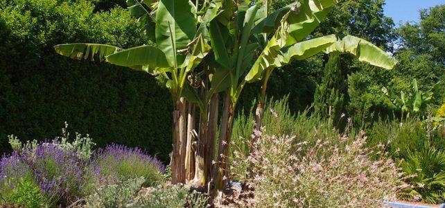 Le Bananier dans votre jardin