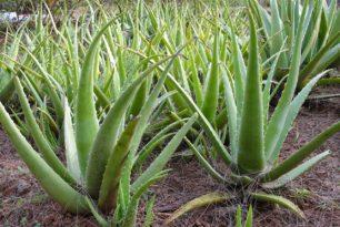 Les miracles de l'Aloé Véra, cette plante magique.