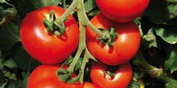 Tailler les pieds de Tomates pour une meilleure récolte